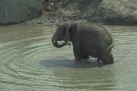 アフリカゾウ 23018028564| 写真素材・ストックフォト・画像・イラスト素材|アマナイメージズ