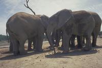 アフリカゾウ 23018028567| 写真素材・ストックフォト・画像・イラスト素材|アマナイメージズ