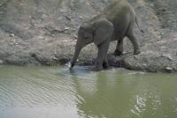 アフリカゾウ 23018028568| 写真素材・ストックフォト・画像・イラスト素材|アマナイメージズ