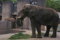 アフリカゾウ 23018028571| 写真素材・ストックフォト・画像・イラスト素材|アマナイメージズ