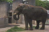 アフリカゾウ 23018028572| 写真素材・ストックフォト・画像・イラスト素材|アマナイメージズ