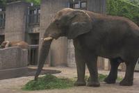 アフリカゾウ 23018028573| 写真素材・ストックフォト・画像・イラスト素材|アマナイメージズ