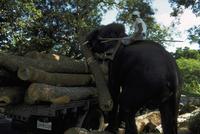 アジアゾウ(インドゾウ) 23018028595| 写真素材・ストックフォト・画像・イラスト素材|アマナイメージズ