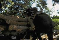 アジアゾウ(インドゾウ) 23018028596| 写真素材・ストックフォト・画像・イラスト素材|アマナイメージズ