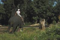 アジアゾウ(インドゾウ) 23018028597| 写真素材・ストックフォト・画像・イラスト素材|アマナイメージズ