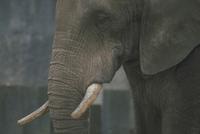 アフリカゾウ 23018028599| 写真素材・ストックフォト・画像・イラスト素材|アマナイメージズ