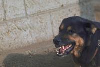 イヌ(ジャーマン・シェパード・ドッグ) 23018028600| 写真素材・ストックフォト・画像・イラスト素材|アマナイメージズ