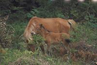 ウマ(御崎馬) 23018028733| 写真素材・ストックフォト・画像・イラスト素材|アマナイメージズ