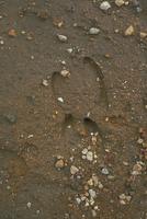 ニホンカモシカの足跡