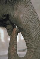アフリカゾウ 23018029055| 写真素材・ストックフォト・画像・イラスト素材|アマナイメージズ