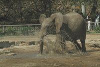 アフリカゾウ 23018029066| 写真素材・ストックフォト・画像・イラスト素材|アマナイメージズ