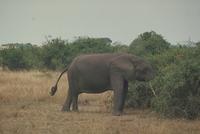 アフリカゾウ 23018029074| 写真素材・ストックフォト・画像・イラスト素材|アマナイメージズ