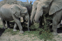 アフリカゾウ 23018029083| 写真素材・ストックフォト・画像・イラスト素材|アマナイメージズ