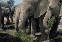 アフリカゾウ 23018029084| 写真素材・ストックフォト・画像・イラスト素材|アマナイメージズ