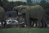 アフリカゾウ 23018029085| 写真素材・ストックフォト・画像・イラスト素材|アマナイメージズ