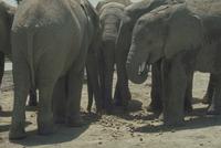 アフリカゾウ 23018029086| 写真素材・ストックフォト・画像・イラスト素材|アマナイメージズ