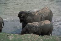 アフリカゾウ 23018029087| 写真素材・ストックフォト・画像・イラスト素材|アマナイメージズ