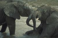 アフリカゾウ 23018029088| 写真素材・ストックフォト・画像・イラスト素材|アマナイメージズ