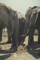 アフリカゾウ 23018029089| 写真素材・ストックフォト・画像・イラスト素材|アマナイメージズ