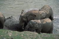 アフリカゾウ 23018029090| 写真素材・ストックフォト・画像・イラスト素材|アマナイメージズ