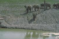 アフリカゾウ 23018029091| 写真素材・ストックフォト・画像・イラスト素材|アマナイメージズ