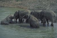 アフリカゾウ 23018029092| 写真素材・ストックフォト・画像・イラスト素材|アマナイメージズ
