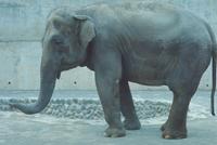 アジアゾウ(インドゾウ) 23018029132| 写真素材・ストックフォト・画像・イラスト素材|アマナイメージズ