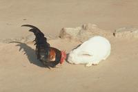 ウサギとニワトリ 23018029185| 写真素材・ストックフォト・画像・イラスト素材|アマナイメージズ