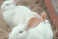 ウサギ 23018029226| 写真素材・ストックフォト・画像・イラスト素材|アマナイメージズ