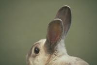 ウサギ(耳) 23018029746| 写真素材・ストックフォト・画像・イラスト素材|アマナイメージズ