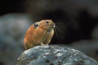 エゾナキウサギ 23018029748| 写真素材・ストックフォト・画像・イラスト素材|アマナイメージズ