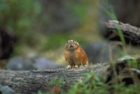 エゾナキウサギ 23018029750| 写真素材・ストックフォト・画像・イラスト素材|アマナイメージズ
