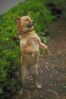 イヌ(柴犬) 23018029789| 写真素材・ストックフォト・画像・イラスト素材|アマナイメージズ