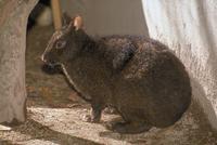 アマミノクロウサギ 23018029833| 写真素材・ストックフォト・画像・イラスト素材|アマナイメージズ