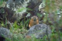 エゾナキウサギ 23018029835| 写真素材・ストックフォト・画像・イラスト素材|アマナイメージズ