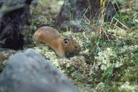 エゾナキウサギ 23018029836| 写真素材・ストックフォト・画像・イラスト素材|アマナイメージズ