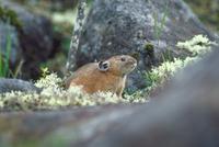 エゾナキウサギ 23018029837| 写真素材・ストックフォト・画像・イラスト素材|アマナイメージズ