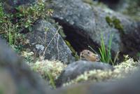 エゾナキウサギ 23018029838| 写真素材・ストックフォト・画像・イラスト素材|アマナイメージズ
