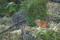 エゾナキウサギ 23018029841| 写真素材・ストックフォト・画像・イラスト素材|アマナイメージズ