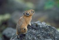 エゾナキウサギ 23018029842| 写真素材・ストックフォト・画像・イラスト素材|アマナイメージズ