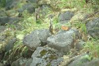 エゾナキウサギ 23018029843| 写真素材・ストックフォト・画像・イラスト素材|アマナイメージズ