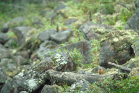 エゾナキウサギ 23018029845| 写真素材・ストックフォト・画像・イラスト素材|アマナイメージズ