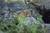 エゾナキウサギ 23018029846| 写真素材・ストックフォト・画像・イラスト素材|アマナイメージズ