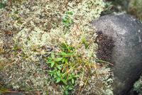 エゾナキウサギのふん 23018029848| 写真素材・ストックフォト・画像・イラスト素材|アマナイメージズ