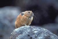エゾナキウサギ 23018029849| 写真素材・ストックフォト・画像・イラスト素材|アマナイメージズ