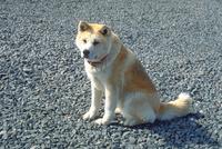 イヌ(秋田犬)