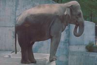 アジアゾウ(インドゾウ) 23018030083| 写真素材・ストックフォト・画像・イラスト素材|アマナイメージズ