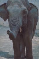 アジアゾウ(インドゾウ) 23018030084| 写真素材・ストックフォト・画像・イラスト素材|アマナイメージズ