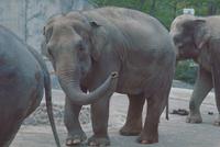 アジアゾウ(インドゾウ) 23018030085| 写真素材・ストックフォト・画像・イラスト素材|アマナイメージズ