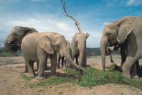 アフリカゾウ 23018030088| 写真素材・ストックフォト・画像・イラスト素材|アマナイメージズ